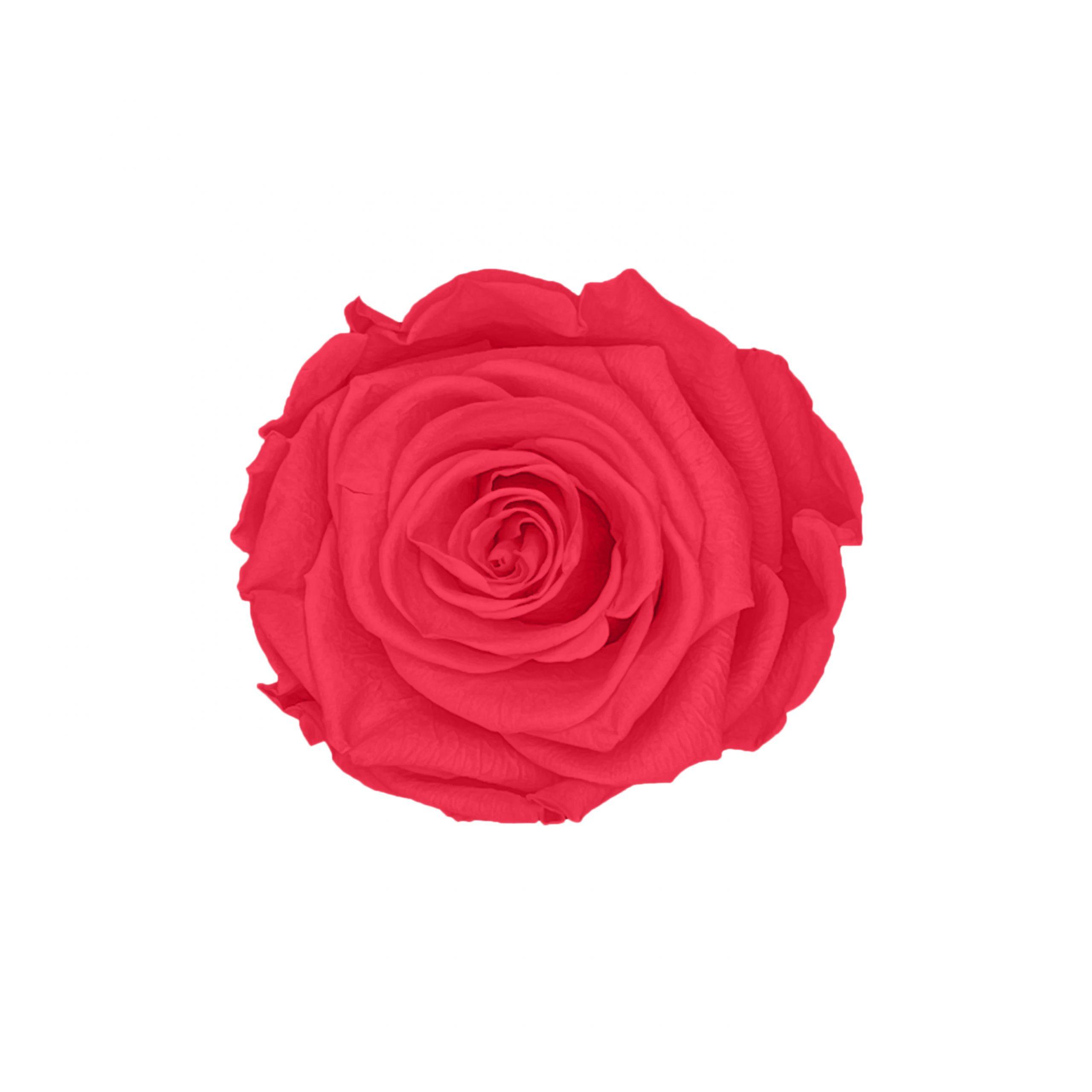 Infinity rose peach pink