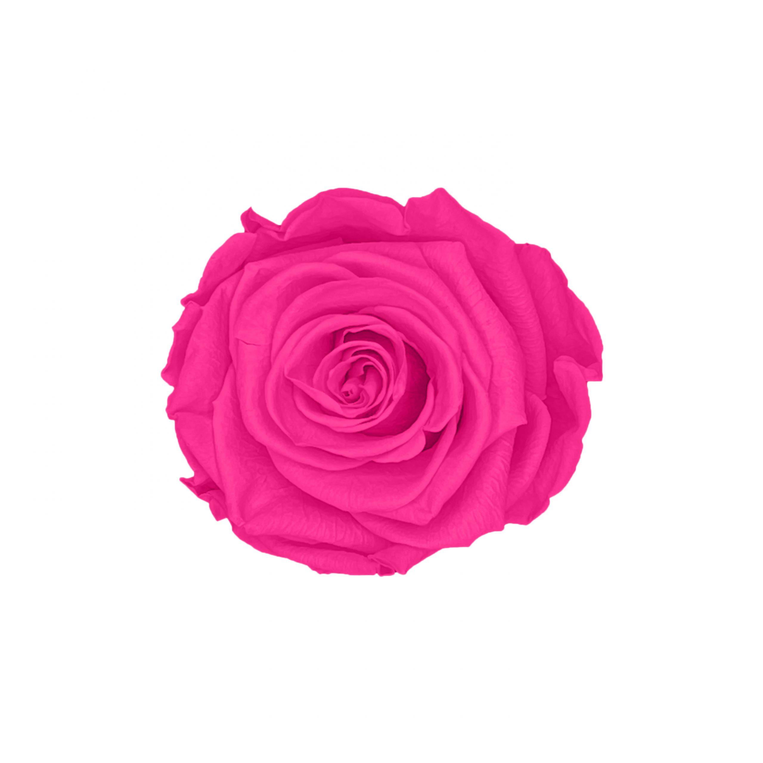 Infinity rose purple pink