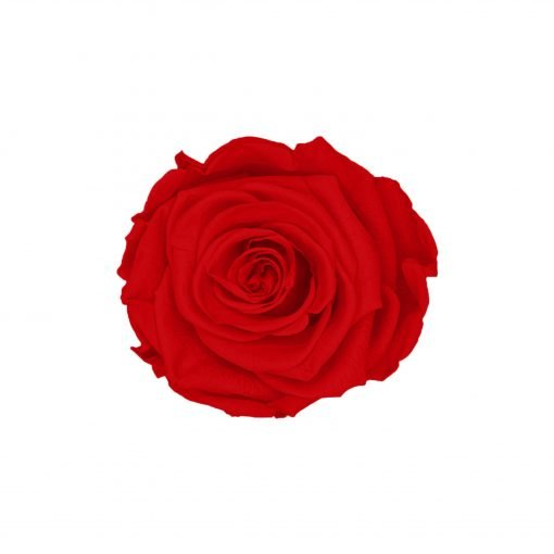 Infinity rose red