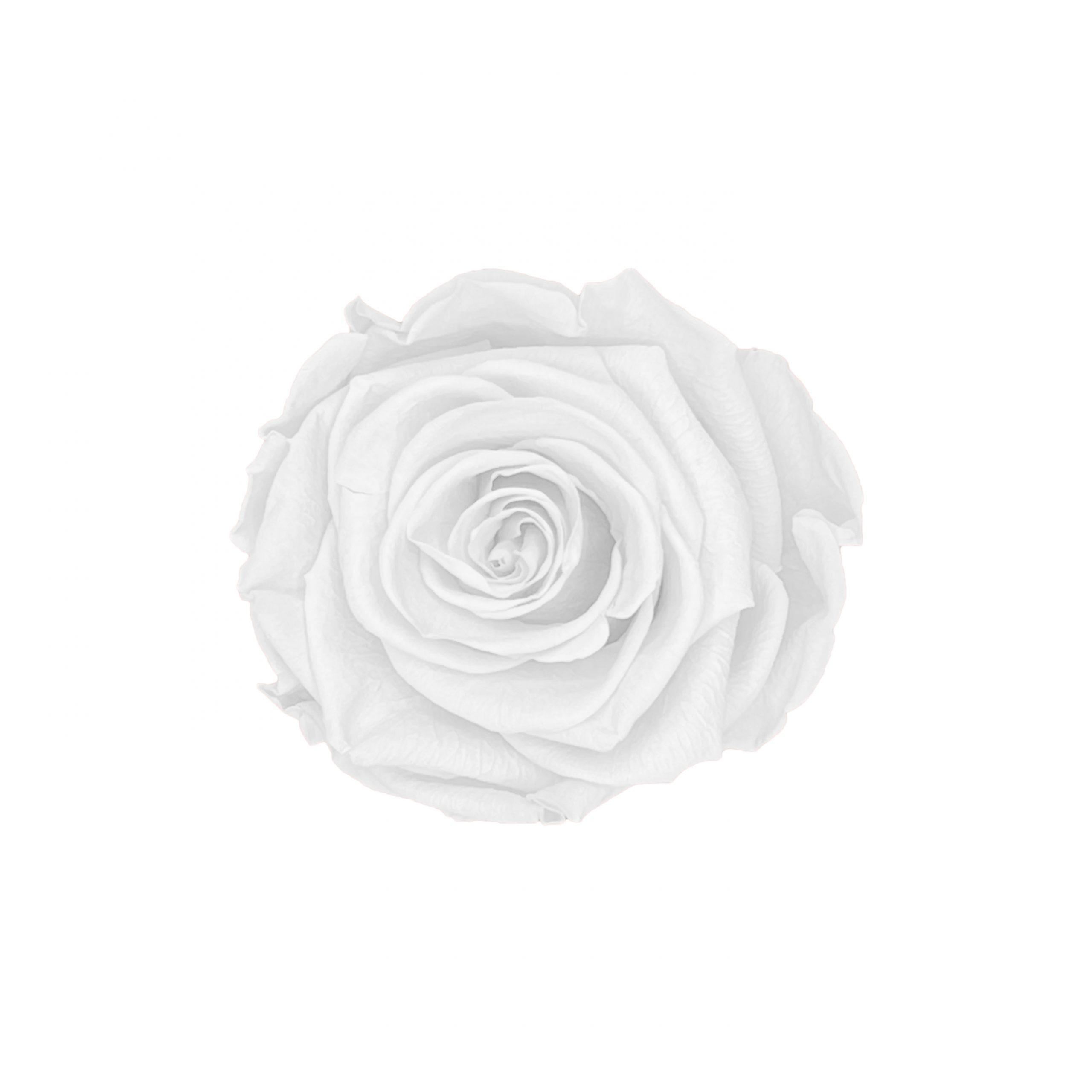 Infinity rose white